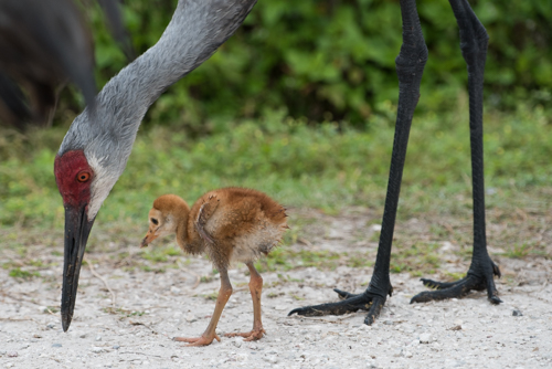 Sand Hill Crane and chick